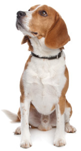 koukajici pes